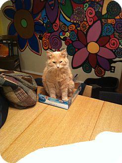 Domestic Mediumhair Kitten for adoption in St. Louis, Missouri - Spitfire