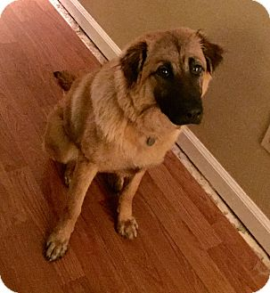 German Shepherd Dog/Golden Retriever Mix Dog for adoption in FOSTER, Rhode Island - O'dell