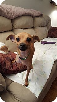 Chihuahua Mix Dog for adoption in Saddle Brook, New Jersey - JETHRO