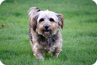 Yorkie, Yorkshire Terrier/Shih Tzu Mix Dog for adoption in Hagerstown, Maryland - Madeline