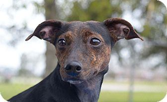 Dachshund Mix Dog for adoption in LAFAYETTE, Louisiana - Charlie