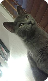 Russian Blue Kitten for adoption in Ocala, Florida - Andy