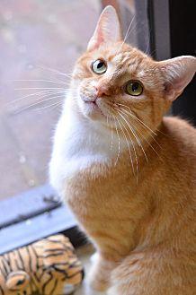 Domestic Shorthair Cat for adoption in Atlanta, Georgia - Chevron 141240