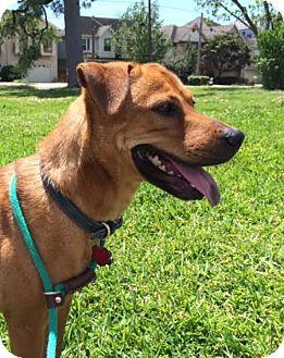Retriever (Unknown Type) Mix Dog for adoption in Houston, Texas - Daisy