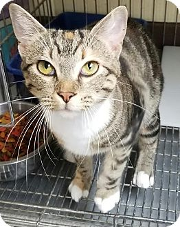 American Shorthair Cat for adoption in Havelock, North Carolina - Bree