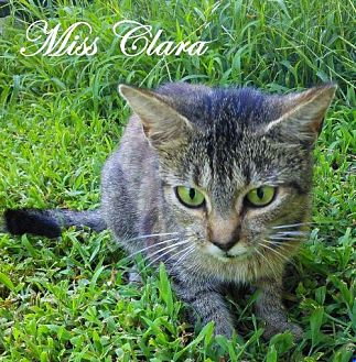 Domestic Shorthair Cat for adoption in Culpeper, Virginia - Miss Clara
