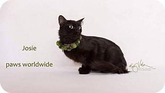 Siberian Cat for adoption in Corona, California - JOSIE