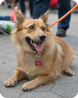 Corgi/Sheltie, Shetland Sheepdog Mix Dog for adoption in Long Beach, New York - Little Jenny