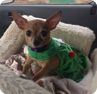 Chihuahua Dog for adoption in Norman, Oklahoma - Sophia