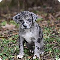 Adopt A Pet :: Gambler - South Dennis, MA