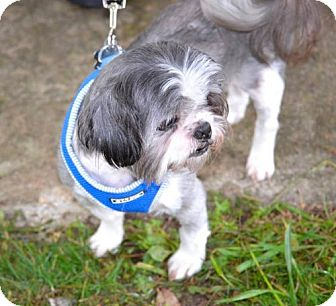 Shih Tzu Dog for adoption in Arlington Heights, Illinois - Oreo # 1211