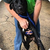 Labrador Retriever Mix Dog for adoption in Millbrook, New York - Molly - Sweet Lab Girl