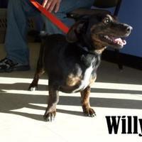 Basset Hound Mix Dog for adoption in Franklin, North Carolina - willy