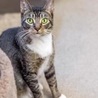 Domestic Shorthair/Domestic Shorthair Mix Cat for adoption in Palm Coast, Florida - BINKS