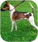 Jack Russell Terrier Mix Dog for adoption in Rhinebeck, New York - Brownie