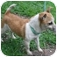 Photo 1 - Jack Russell Terrier/Chihuahua Mix Dog for adoption in Old Bridge, New Jersey - Precious