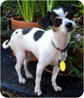 Chihuahua/Fox Terrier (Toy) Mix Dog for adoption in petaluma, California - Tina