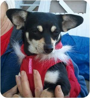 Chihuahua/Miniature Pinscher Mix Dog for adoption in El Segundo, California - Shiba