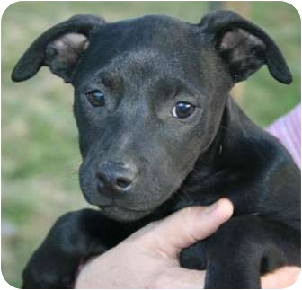 Labrador Retriever Mix Puppy for adoption in Hagerstown, Maryland - Onyx