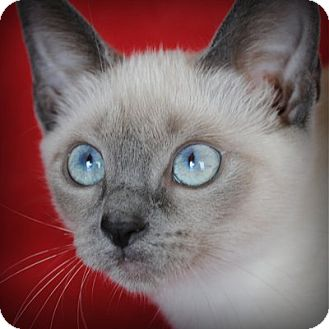 Siamese Kitten for adoption in Weatherford, Texas - Mitzi