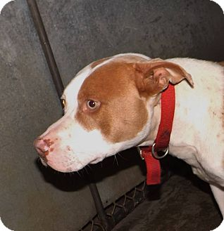 Pit Bull Terrier Mix Dog for adoption in Henderson, North Carolina - Bear