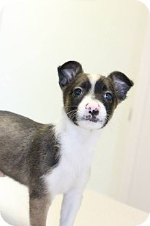 Sheltie, Shetland Sheepdog/Bull Terrier Mix Puppy for adoption in Ft. Collins, Colorado - Ferris