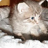 Adopt A Pet :: Sydney - Xenia, OH