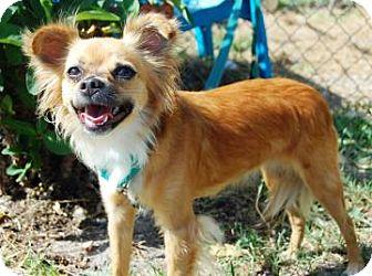Chihuahua Mix Dog for adoption in Bradenton, Florida - Cassidy