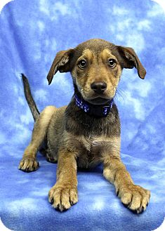 Shepherd (Unknown Type) Mix Puppy for adoption in Westminster, Colorado - Louis