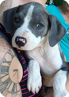 Pit Bull Terrier/Hound (Unknown Type) Mix Puppy for adoption in Medford, New Jersey - Silver