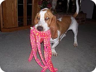 Basset Hound Dog for adoption in Grapevine, Texas - Barney Rubble