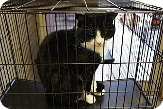 Domestic Shorthair Cat for adoption in Henderson, North Carolina - Damon