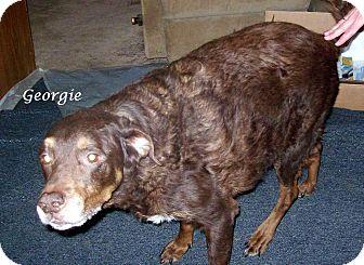 Chesapeake Bay Retriever/Labrador Retriever Mix Dog for adoption in Wilmington, Delaware - Georgie