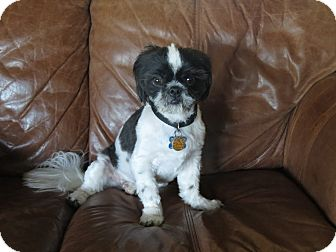 Shih Tzu Dog for adoption in Memphis, Tennessee - SAMMY