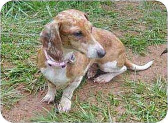 Dachshund Dog for adoption in South Burlington, Vermont - Paisley