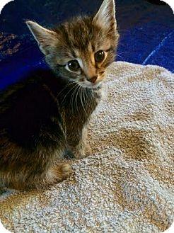 Domestic Shorthair Kitten for adoption in Hainesville, Illinois - Landon