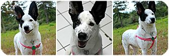 Border Collie Mix Puppy for adoption in Forked River, New Jersey - Caleigh