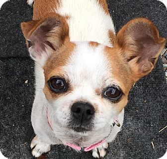 Chihuahua/Boston Terrier Mix Dog for adoption in San Marcos, California - Beatrix