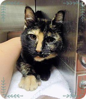 Domestic Shorthair Cat for adoption in Marietta, Georgia - GRETA