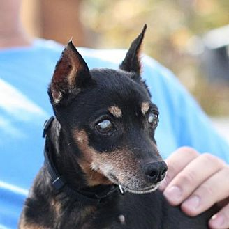 Miniature Pinscher Dog for adoption in Madera, California - Pickle