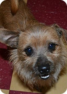 Terrier (Unknown Type, Small) Mix Dog for adoption in Tavares, Florida - Rusty