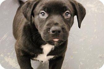 Pit Bull Terrier/Labrador Retriever Mix Puppy for adoption in Eugene, Oregon - Gita