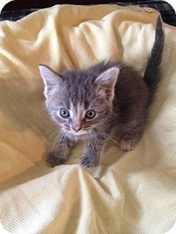 Domestic Shorthair Kitten for adoption in Rockford, Illinois - Celest
