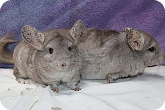 Chinchilla for adoption in Montclair, California - Ling