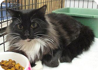 Domestic Longhair Cat for adoption in Reeds Spring, Missouri - Cassidy