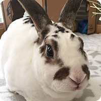 Mini Rex Mix for adoption in Watauga, Texas - Leif