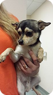 Chihuahua Mix Dog for adoption in Westminster, California - Canteen