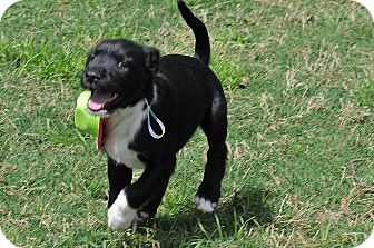 Terrier (Unknown Type, Medium)/Border Collie Mix Puppy for adoption in North Vancouver, British Columbia - Sanders
