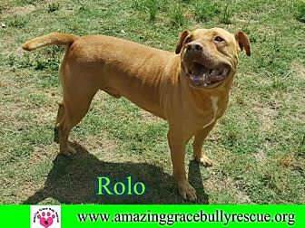 American Staffordshire Terrier Mix Dog for adoption in Pensacola, Florida - Rolo