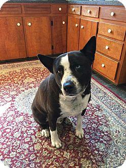 Cattle Dog/Australian Cattle Dog Mix Dog for adoption in Strongsville, Ohio - Harley